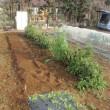 シシトウ畝のお片づけと後作の準備