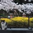 桜とNEKO!!