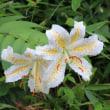 埼玉県狭山市稲荷山にある県営狭山稲荷山公園の斜面では、ヤマユリが咲いています