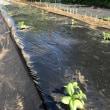 トマトと茄子の苗に植え付け