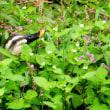 『花水川の野鳥』 カルガモ