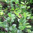 テリハノイバラ(照葉野茨、学名:Rosa luciae)バラ科バラ属