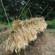 麦の刈取り