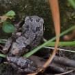 12月5日午前10時15分ごろ、庭に蛙 落ち葉を見ていたら何か動く物が、カエルです