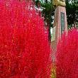 『晩秋の色』 コキア