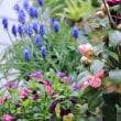 ●我が家の4月の花 ハナミズキが開花 ドウダンツツジの花 スミレ チューリップ クリスマスローズ ミツバツツジの葉