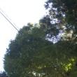 新潟県小千谷市、欄木不動社の杉とケヤキです!!