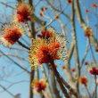 アメリカハナノキ:亜米利加花の木(花はいまひとつ)