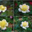 晩秋の北公園のバラの花たち 1