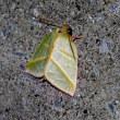 アオスジアオリンガ 夏型の♂  --->  ツクシアオリンガ