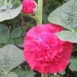 ホーリーホック(立葵) Althaea rosea 豊かな実り 野望
