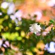 紅葉と 山茶花と おっきりこみうどんと