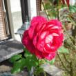 来年も咲いてね。 バラのゲーテローズ