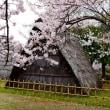 桜見物*浜松市蜆塚公園