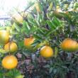 柚子(柚子ジャム・柚子味噌)・八朔・温州ミカン