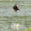 モエレの鳥たち 8/18 トビの幼鳥は捕食訓練 秋の気配が・・・