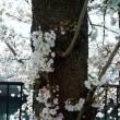 大岡川の桜が満開です!