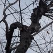朝の散歩でコゲラ(キツツキ)を撮った