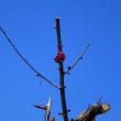 切り込み過ぎた花桃と柚子の木