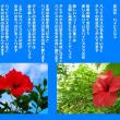 恋の花 ハイビスカス