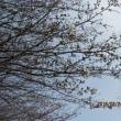 ウオーキングコースへ10日振りに自転車で行った・・・・・桜が・・・鶯が・・・(1)