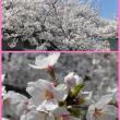 🌸 今年の桜は早いですね~(^O^)/