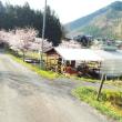 我が農園の桜
