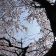 咲き始めた<神山シダレ桜>