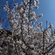 暖流桜が開花!