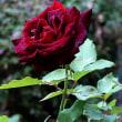 百万本のバラの花を