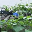 グリーンカーテン 定点観察 7月13日