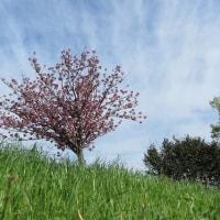 土手のボタン桜