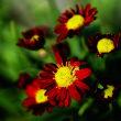 菊 (花 4672)
