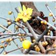 早春の花(^^♪花の質感が蝋細工のように半透明で梅に似たとても甘い良い香りがする「ロウバイ」