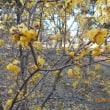 寒冬に黄色い真珠のような蠟梅が甘い香りを漂わせはじめて…