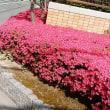 春爛漫、道を歩くとそこらじゅうの花たち~~