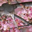 3月11日  河津桜にヒヨドリ