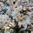 桜満開&つくし満開
