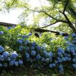 谷厳寺のアジサイ・梅雨時を飾る