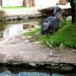池に飛び込むカシシ