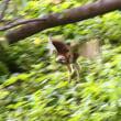 ノスリ ・・・ 大阪城公園で (9/24)
