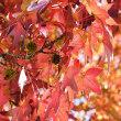 九大筑紫野キャンパス フウ並木