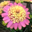 ダブルファンの花は