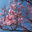 陽光桜が満開になっていました