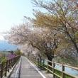 捨ヶ堰の桜