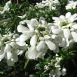 季節の花「イベリス」