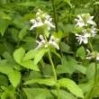 林縁の草地にイヌゴマの花