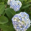 今年の紫陽花の日