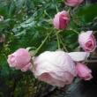 また雨です。 バラのハンスゲーネバイン