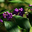 赤い実青い実秋色いっぱい・野川公園自然観察園 2